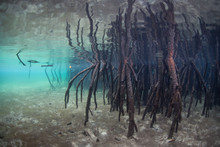 Mangrove Prop Roots Descend Into Shallow Water In Raja Ampat, Indonesia. Mangrove Forests Serve As Ecologically Important Nurseries And Habitats That Protect Land From Erosion.