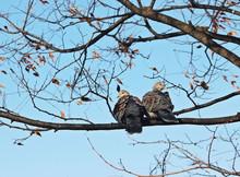 나무가지에 비둘기 한쌍