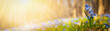Leinwanddruck Bild - Blooming scilla flowers in the middle of forest grass web banner: springtime concept and first flowers