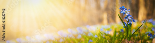 Blooming scilla flowers in the middle of forest grass web banner: springtime concept and first flowers - 316257742