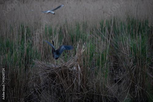 Photo purple heron (ardea purpurea)