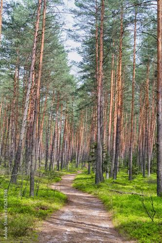Spring pine forest in Roztocze (Roztochia), Roztoczanski Park  Narodowy (Roztocze National Park), Poland