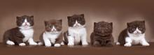 5 BKH Kitten Geschwister In Chocolate Und Cinnamon Braun