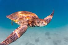 Green Sea Turtle Swimming In O...