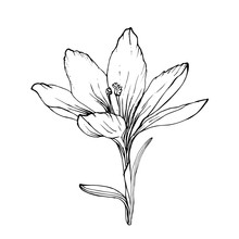 Single Contour Crocus Flower I...