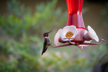 Anna's Hummingbird (Calypte An...