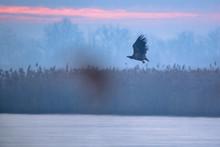 White-tailed Eagle (Haliaeetus Albicilla) Flying Over The Winter Lake