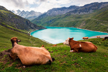 Two Cows Lying Down On Alpine ...