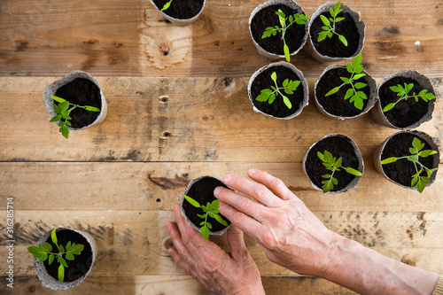 Overhead view of woman hands planting fresh seedlings