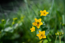 The First Spring Flowers. Young Green Grass And Dry Leaves. Forest Litter.Close Up, Macro Photo Texture And Detail High Resolution Of Yellow Flowers With Green Leaves With Colorful Background