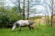 Pferd Apfelschimmel frei auf der Wiese