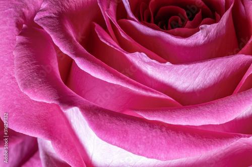 Cuadros en Lienzo Pink Rose Macro