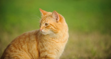 Ginger Tabby Cat Outdoor Portr...