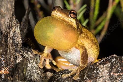 Wallpaper Mural Bleating Tree Frog calling