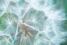 Tragopogon Seeds Soft Background