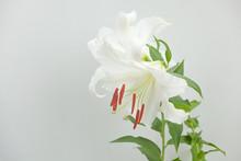 白い百合の花