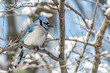 Bluejay perched in a winter landscape