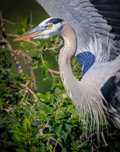 About To Take Off With New Nesting Material, Great Blue Heron In FL