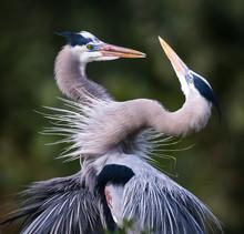 Pair Of Great Blue Herons In M...