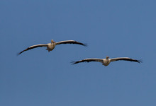 Pair Of White Pelicans Flying Overhead