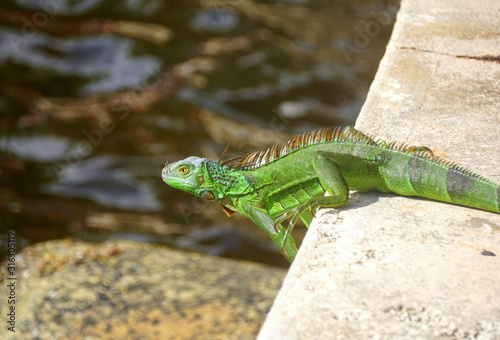 A green iguana by the bay near Fort Lauderdale Beach, Florida, U.S.A