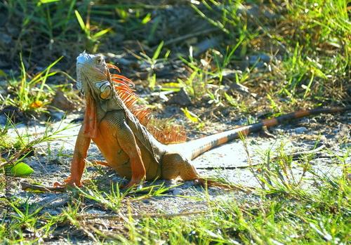 A red iguana on the ground near Dania Beach, Florida, U.S.A