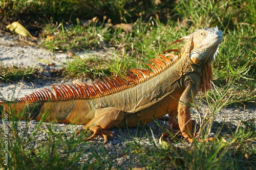 A red iguana on the ground near Dania Beach, Florida, U.S.A