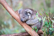 Koala Close Up In Healesville ...