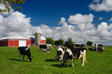 Holstein Cows Grazing In A Grassy Farm Pasture With Red Barn And Silo