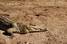 Crocodile Resting After Attack On The Reiver Shore In Kenya, Africa. Safari Thorugh Natural Reserve.