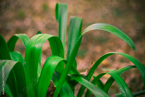 Agapanthus africanus is a flowering green plant is close Canvas Print