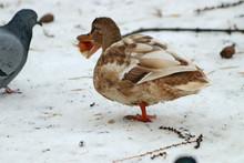 Duck On Snow