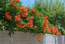 Bignonia Grandiflora (Campsis ...