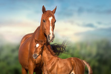 Red Mare And Foal Run On Spring Green  Meadow Against Beautiful Sky
