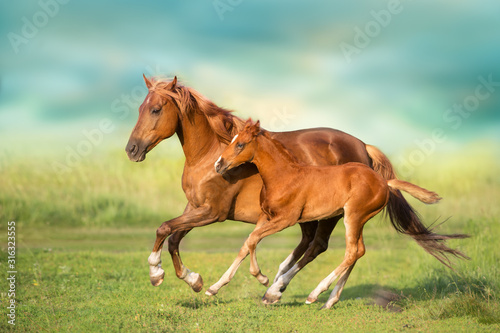 Fototapeta Red mare and foal run on spring green  meadow obraz