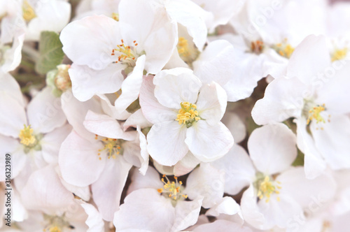 Fototapeta Spring blossom/springtime apple bloom, bokeh flower background, pastel and soft floral card, toned obraz