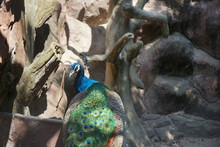 A Peacock In The Zoo.