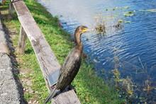 Anhinga In Everglades National Park, Florida