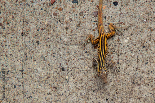Canvas-taulu New Mexican Whiptail lizard Aspidoscelis neomexicanus braves the heat and slowly