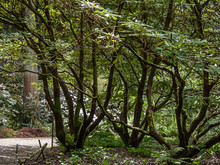 Tall Rhododendron Trees Branching Over Garden Path