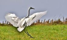 Great White Egret Landing