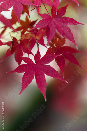 Photo Acer Palmatum leaves in a garden