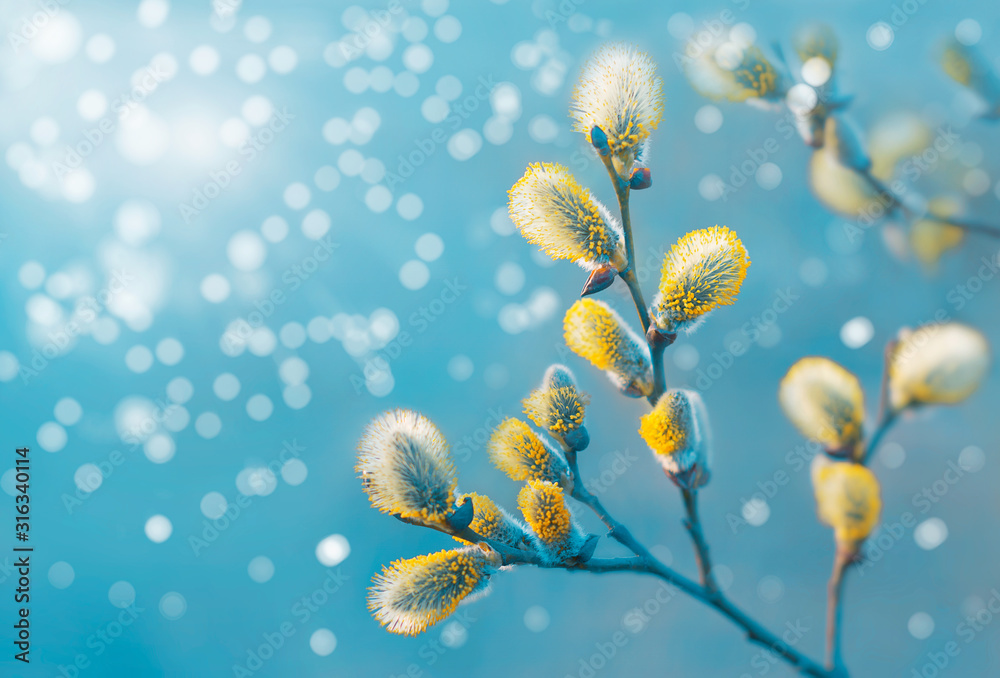 Fototapeta Beautiful pussy willow flowers branches. Easter palm sunday holiday. Elegant artistic image nature. Willow flowers and sunlight. Spring pussy willow branches on turquoise background. Copy space