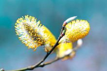 Pussy Willow Branches Background, Close-up. Willow Twigs With Catkins On Blue. Spring Easter Pussy Willow Branches On Blue Background