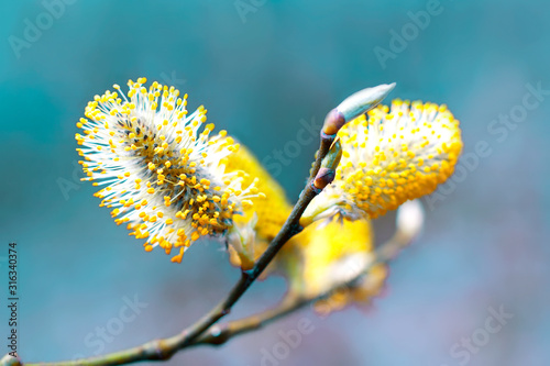 Fotografie, Obraz Pussy willow branches background, close-up