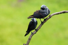 The Western Jackdaw (Coloeus Monedula), Also The Eurasian Jackdaw, European Jackdaw, Or Simply Jackdaw. Pair Sitting On The Branch With Green Background.Two Big Gray Birds On A Branch.