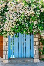 White Pink Bougainvillea On Top Of Blue Fence Door In Kefalonia
