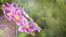 A Beautiful Double Lilac Clematis Flower Grows On A Pergola In The Garden. Close Up.