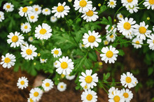 Small Wild Chamomile Grows On ...