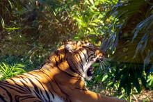 Yawning Sumatran Tiger Resting...